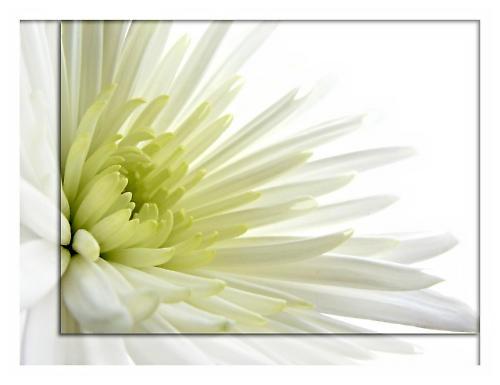 Chrysanthemum by cattyal