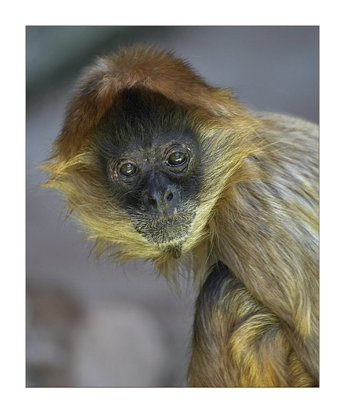 Spider Monkey by Keelo