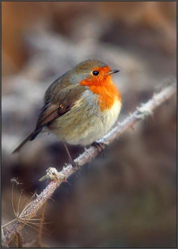Erithacus Rubecula (Robin) by rojo-uk