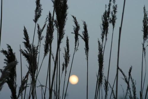 reeds by colder
