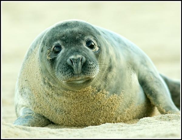 Grey Seal by Dennis.Alden