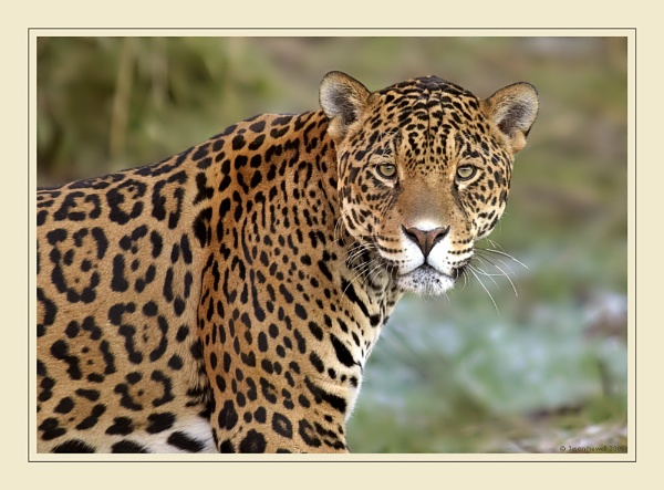Jaguar by jasonewell