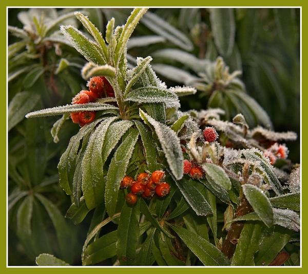 Frozen Berrys by Ghostrider