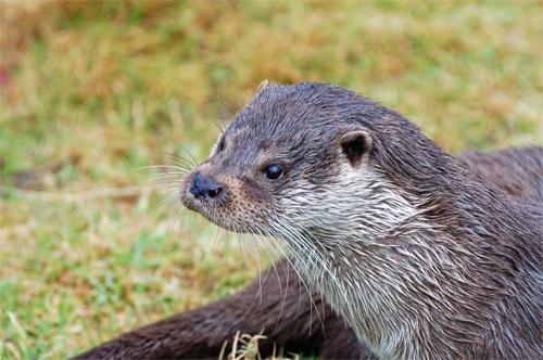BWC Otter by Della_W