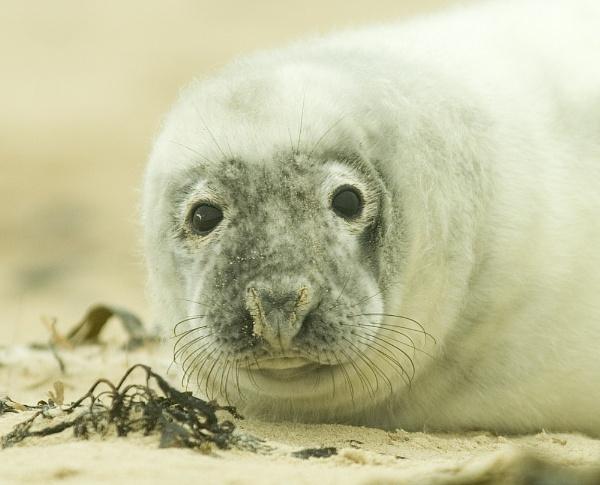 Grey Seal Pup by Dennis.Alden