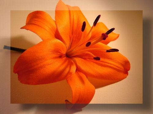 Lily by lilipolala