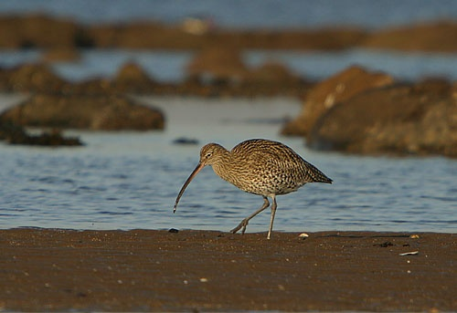 Curlew by deemac