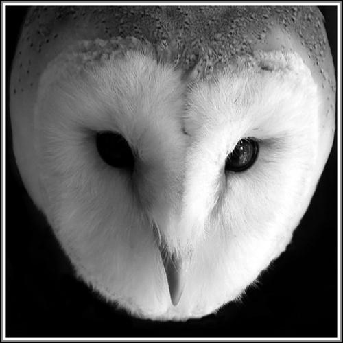 Barn Owl in mono by jcaslin
