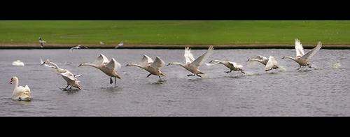 Swan Landing by gemm