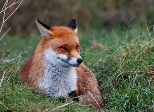 BWC Fox by Della_W