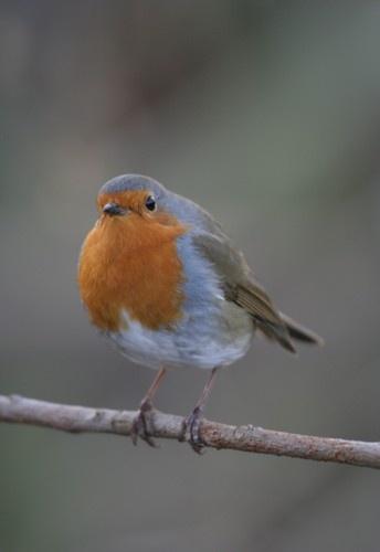 The Friendly Robin by davidjenkins
