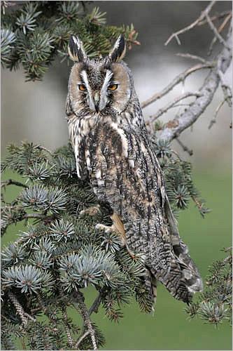 Long Eared Owl by photographerjoe