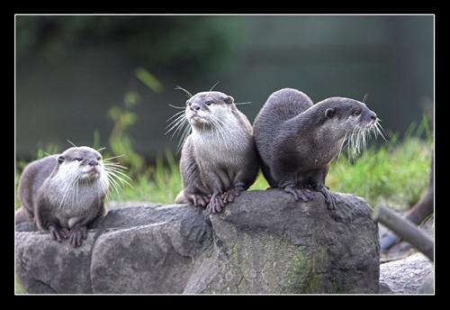 Otter Trio by photographerjoe