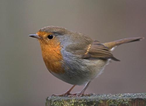 Robin by jj24
