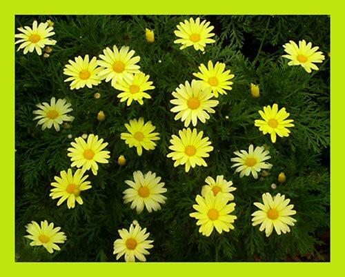 Daisy\'s by Sina