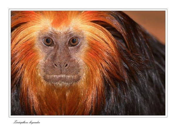 Golden-Headed Lion Tamarin by cdm36