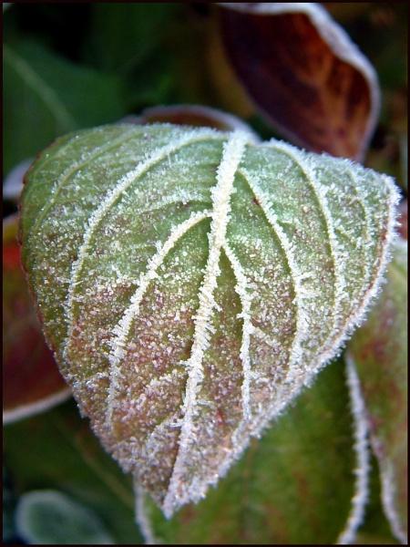 frosty leaf! by alexball