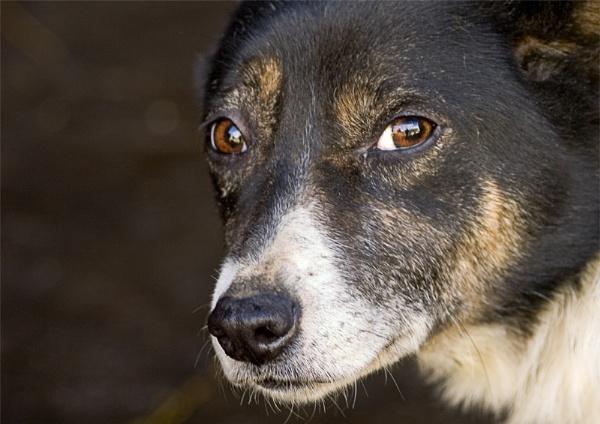 Old Dog Gyp by christabella