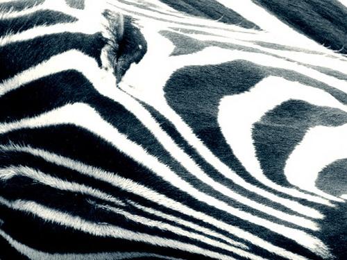 zebra by iainpb
