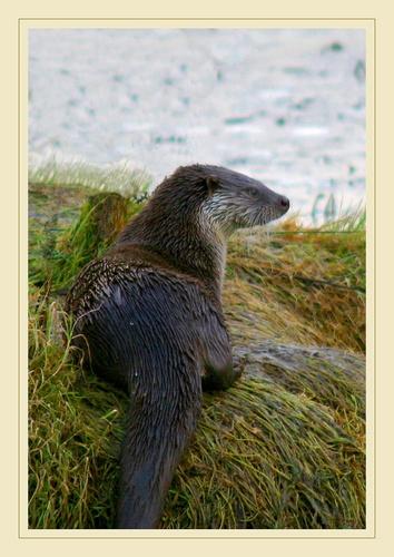 *Otter* by Simon_Whitehouse