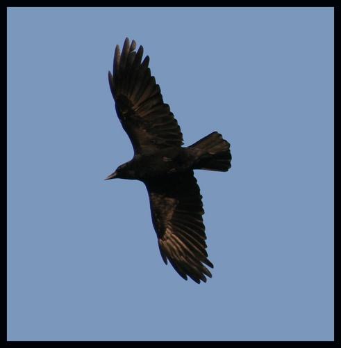 crow..... by Sarahmann