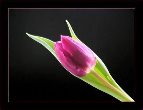Tulip by Psin