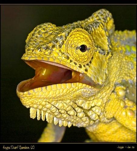 Knysna Dwarf Chameleon by joggievs