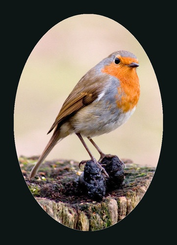 Robin OOH by pointnshoot