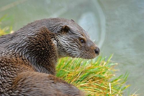 Otter. by IanA