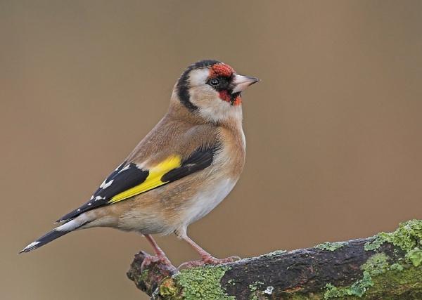 Goldfinch by John_Wannop