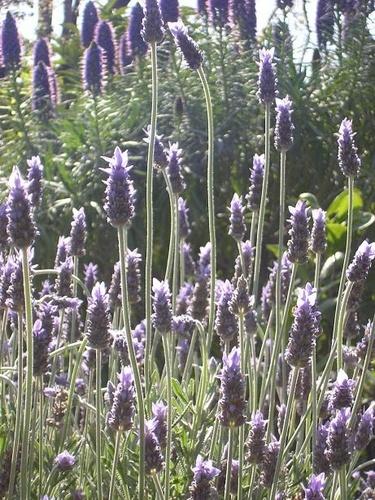 Lavender by aussielass