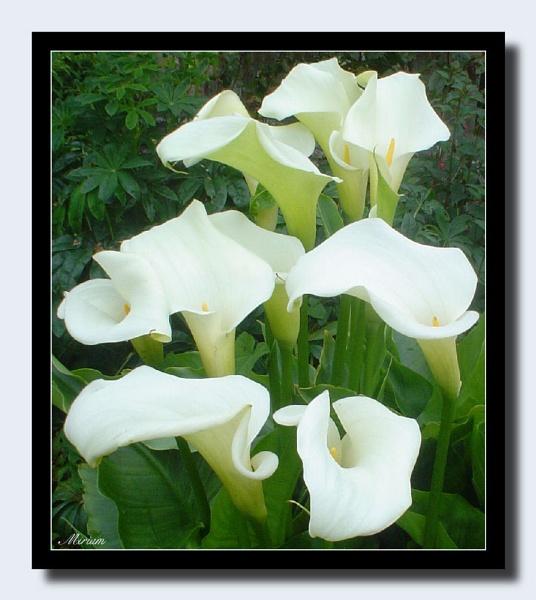 Arum Lilies by lilipolala