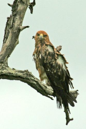 Eagle by leons_photos