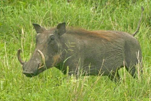 Pumbaa by leons_photos