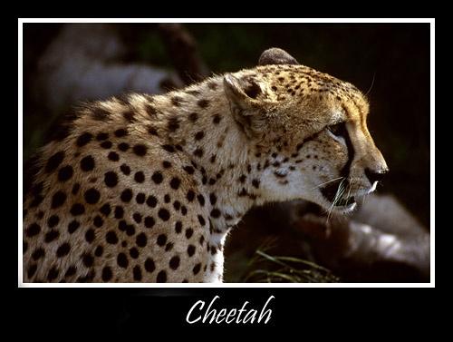 Cheetah by michaeldt