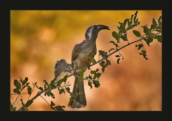 Grey Hornbill by proberts