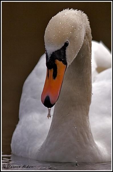 Mute Swan by Dennis.Alden