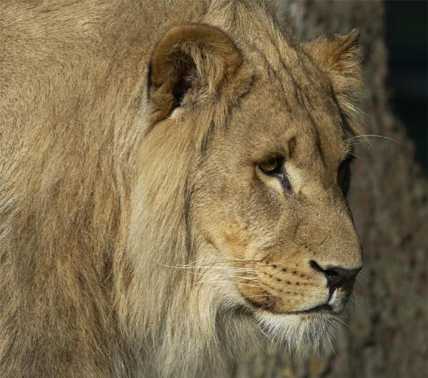 Lion by ReidFJR