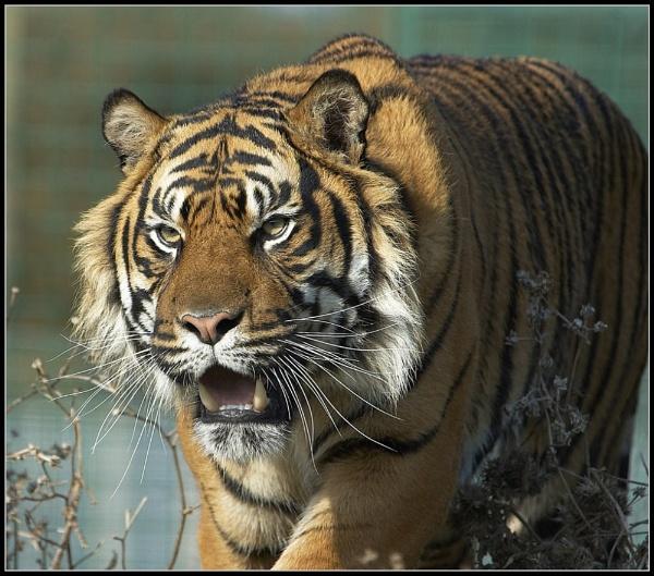 Tiger Stalking by ReidFJR