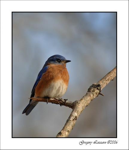 Blue Bird by glazzaro