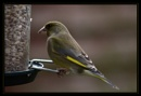 Greenfinch by hayleyh