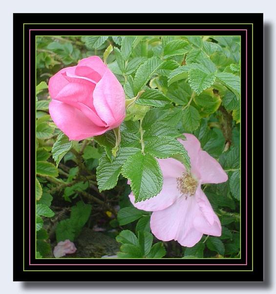 Pink Rose Bush by lilipolala