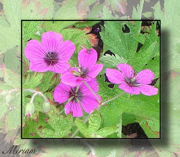 Pink by lilipolala