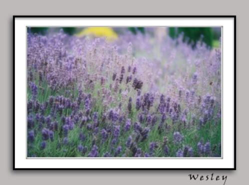 A purple field by Wesley_Tan