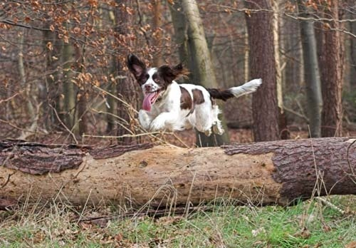 Jumping Spaniel by Max_WW