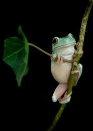 Ollie My Tree Frog (repost)