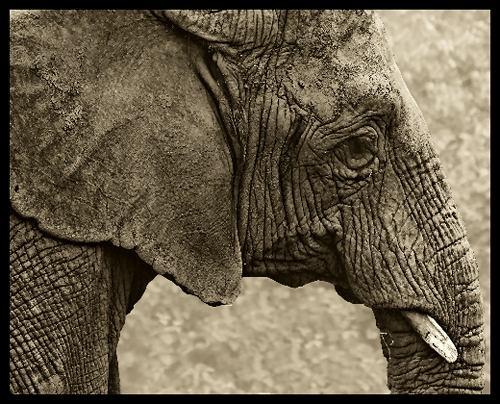 Old Elephant by jon1169