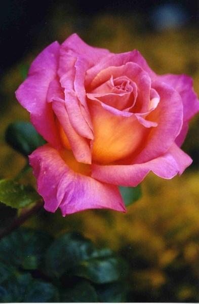 rose 1 by ambrosej9