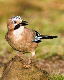 Jay with an acorn