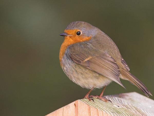 Robin by John_Wannop